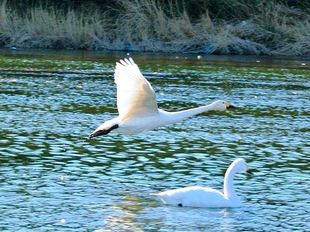 荒川の白鳥 (15)