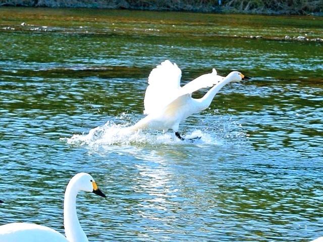 荒川の白鳥 (16)