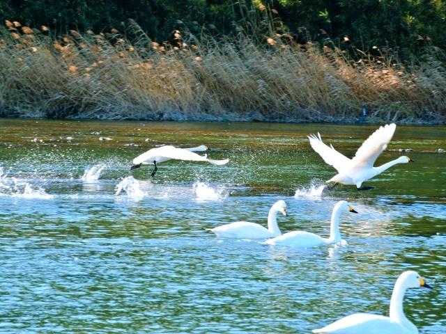 荒川の白鳥 (17)
