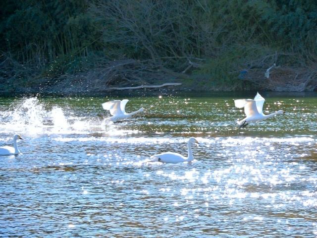 荒川の白鳥 (18)