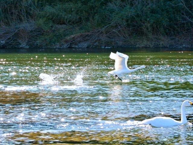 荒川の白鳥 (19)