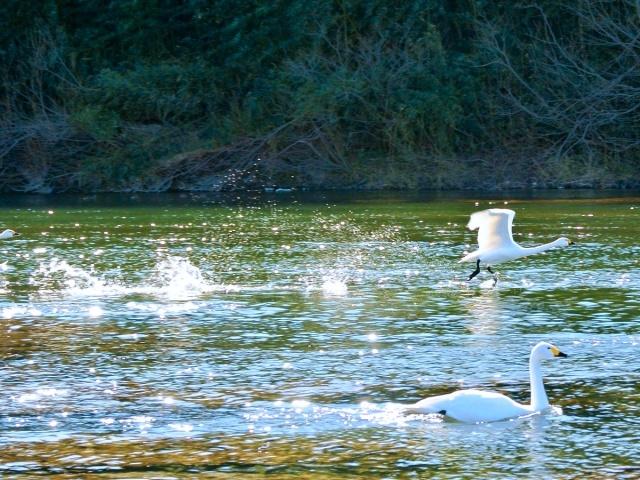 荒川の白鳥 (20)