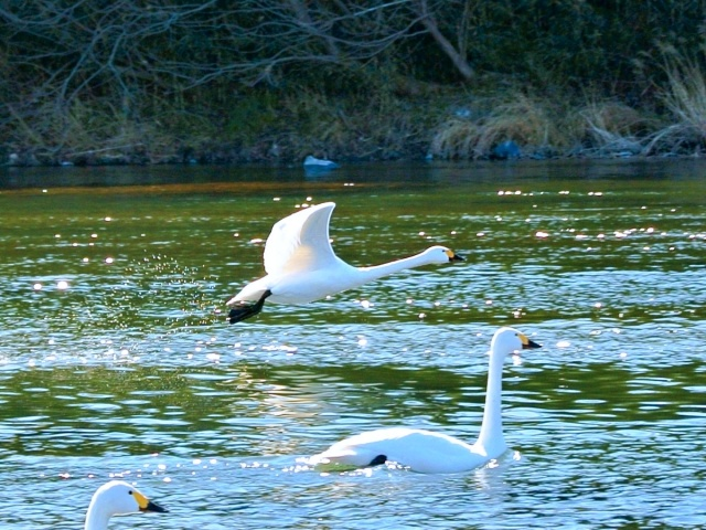 荒川の白鳥 (21)