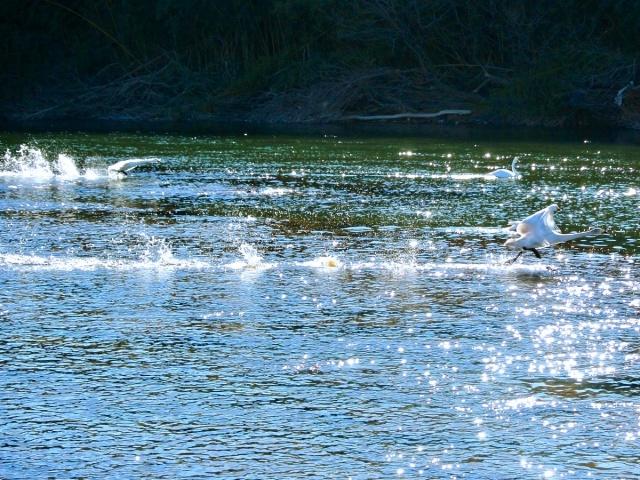 荒川の白鳥 (22)