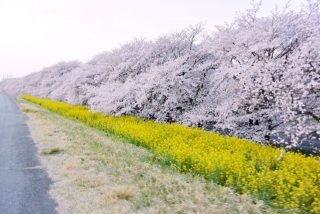 熊谷桜堤 (1)