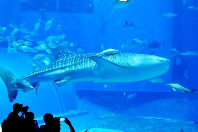 沖縄美ら海水族館 (13)