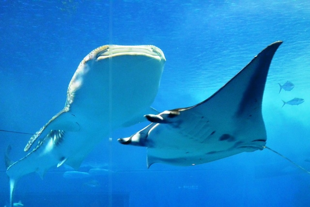 沖縄美ら海水族館 (15)