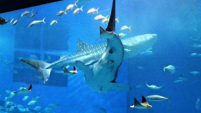 沖縄美ら海水族館 (21)