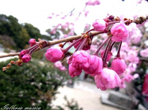日本の春8