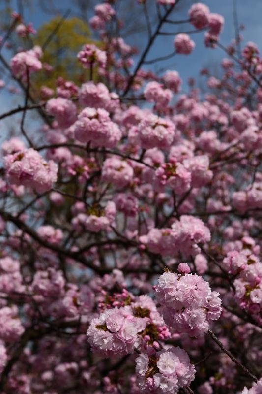 造幣局 桜 (1)