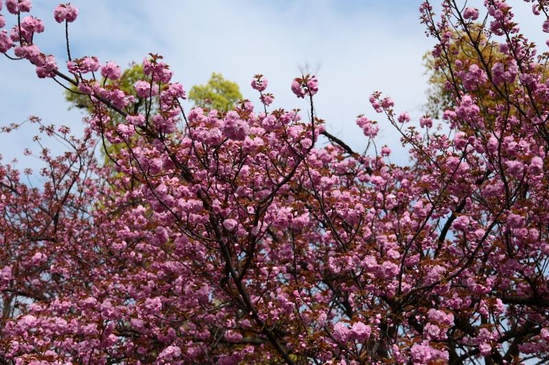 造幣局 桜 (8)