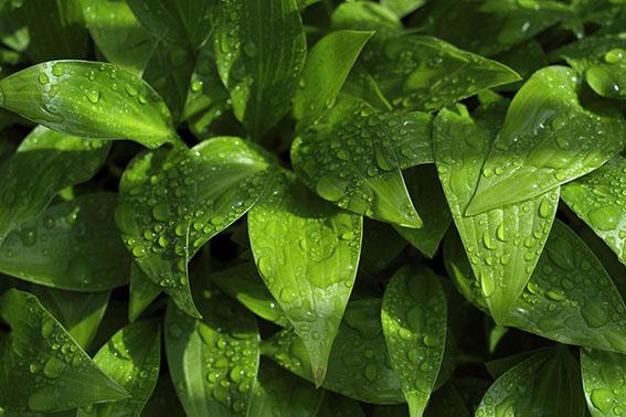 雨上がりの葉っぱ達