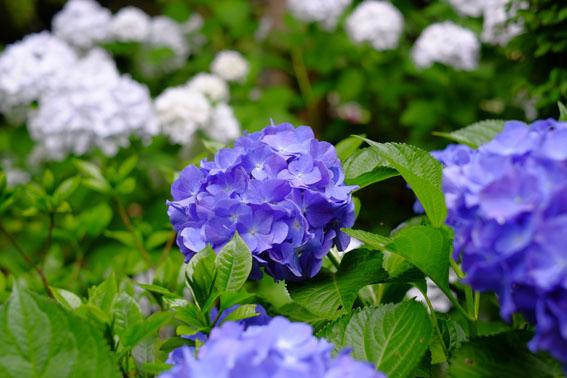 あじさい寺の紫陽花01