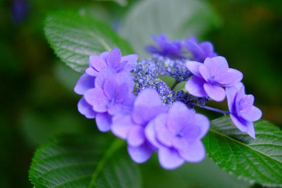あじさい寺の紫陽花03
