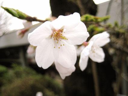 宮崎台の桜3.30