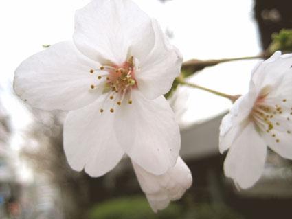 宮崎台の桜2
