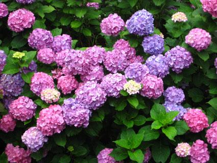 彩り紫陽花