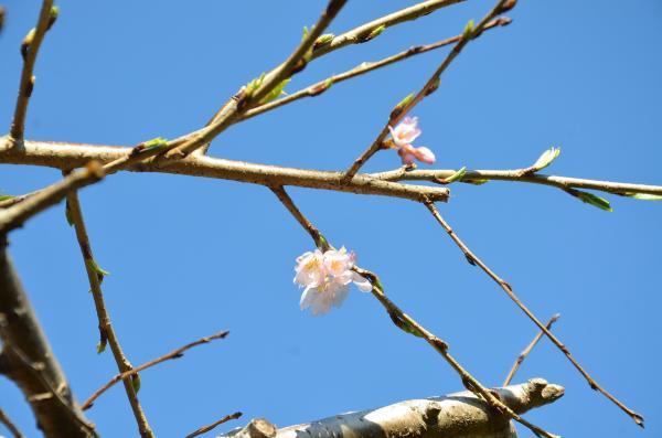 三春の滝桜?