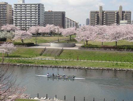 中川堤の桜