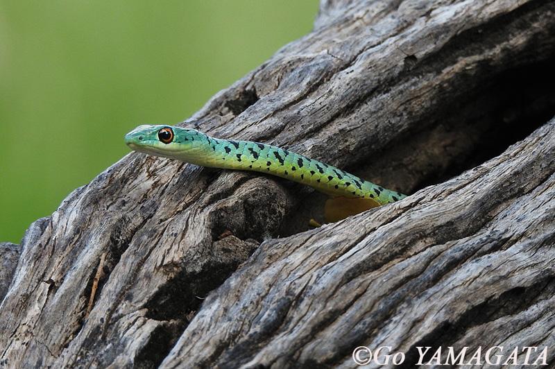 snake_masahtu.jpg