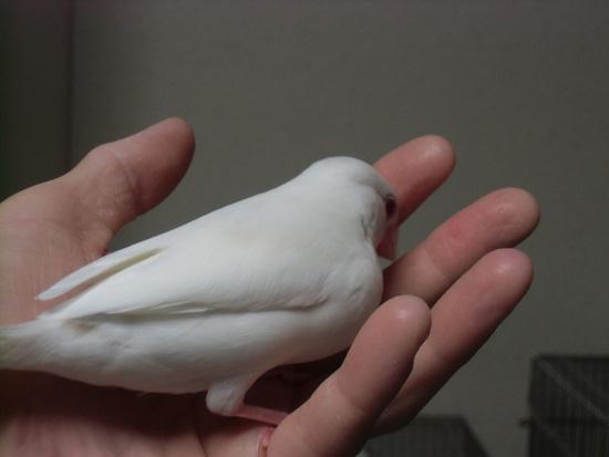 やはり鳩胸