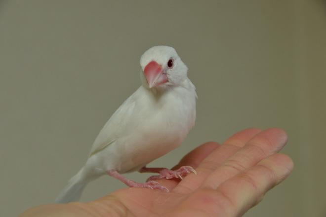 アルビノ文鳥さんは