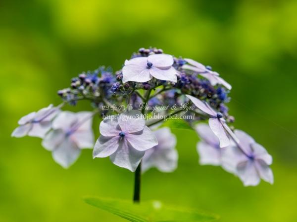 浄智寺の紫陽花 B