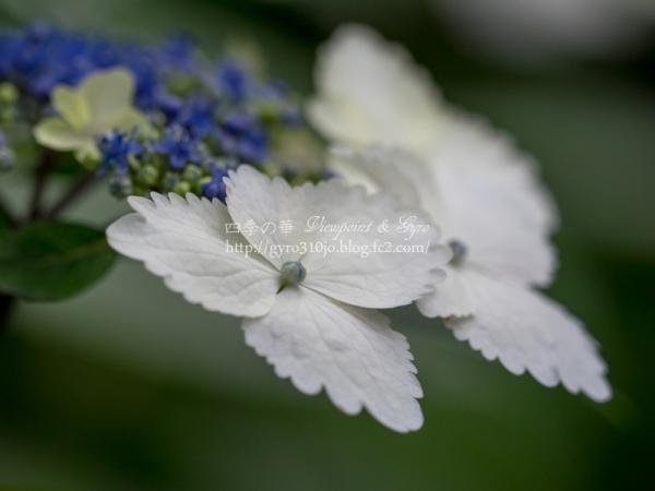 浄智寺の紫陽花 D