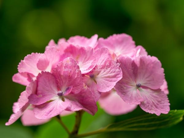 浄智寺の紫陽花 H