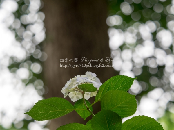 浄智寺の紫陽花 A