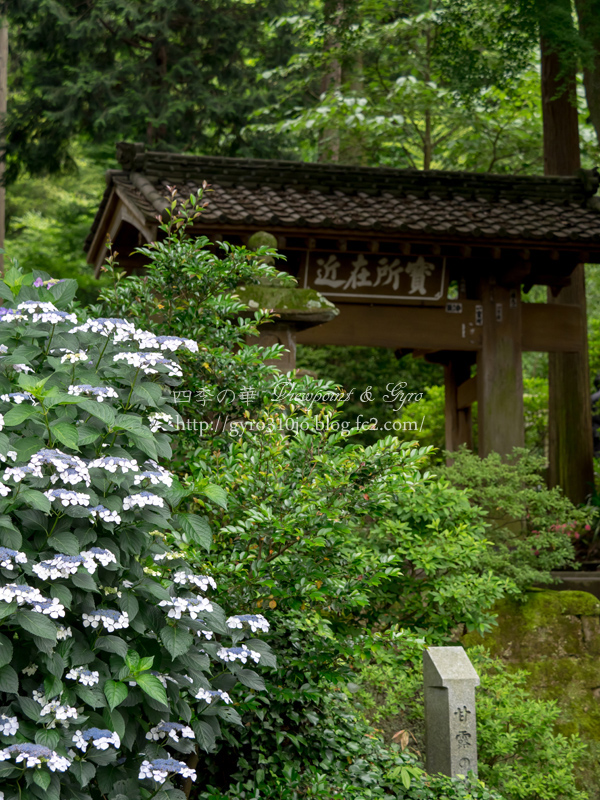 浄智寺の紫陽花 I