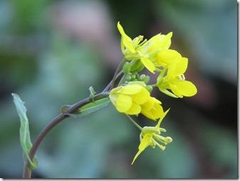 141225018 菜の花
