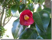 150123026 ヤブツバキの花