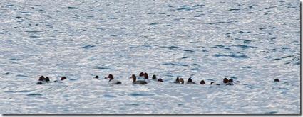 150209002 ホシハジロの群れ(鵲)
