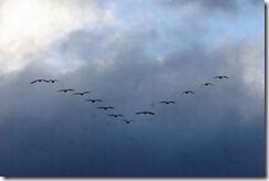 150209012 上空を移動(鵲)