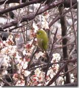 150209023 梅の花にメジロ(鵲)