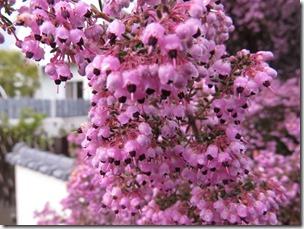 150209033 ジャノメエリカの花
