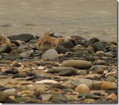 150528007 海岸で見かけたコチドリ