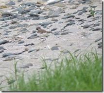 150528008 海岸で見かけたコチドリ
