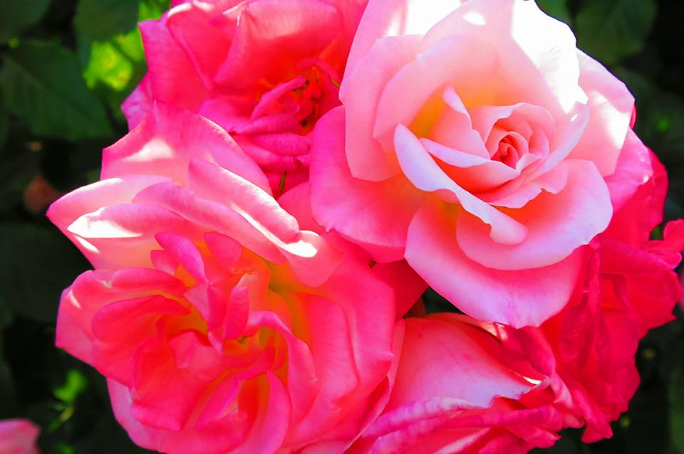 2015薔薇