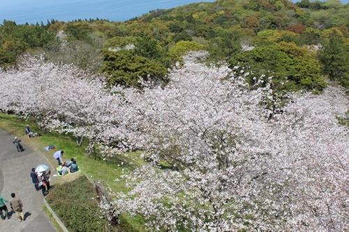 2015桜4