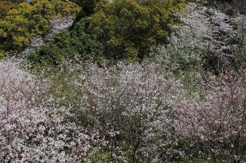 2015桜6
