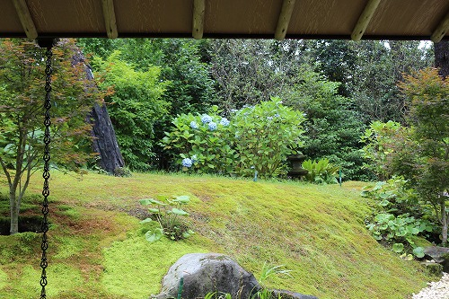 苔庭のアジサイ