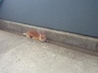狐巣 うさぎ