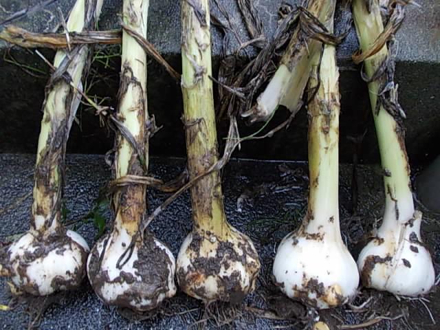 Jumbo garlic 20150617