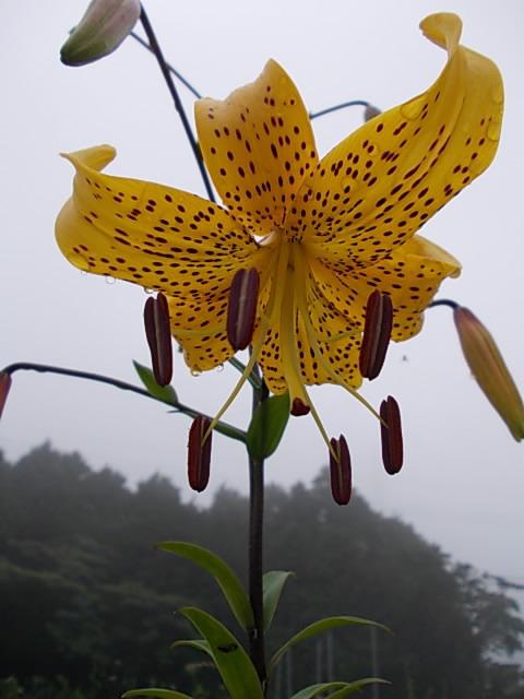 Kihiratoyuri lily 20150609