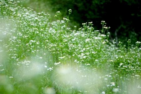 白い花の咲く頃