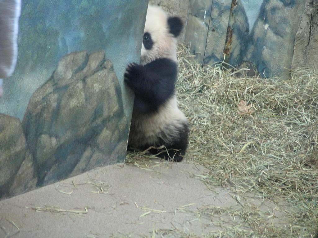 子パンダが壁から顔を出してるパンチラ