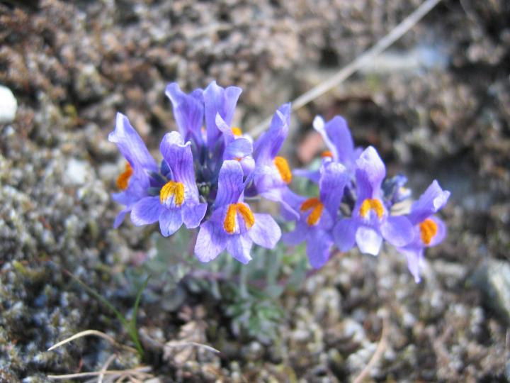 Linaria+alpina+のコピー_convert_20150304214157