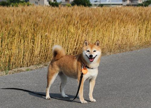 IMG_みかんとお散歩麦畑4